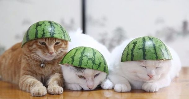 This Japanese Video Of Cats With Watermelon Hats Is Getting THOUSANDS Of Views